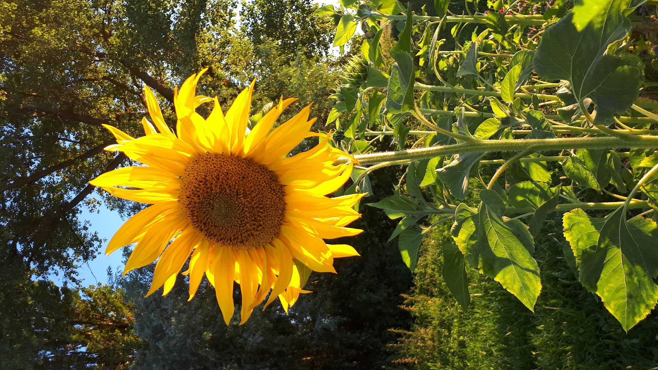 Sonnenblume im Naturgarten